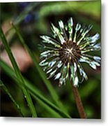 Dandelion Will Make You Wise Metal Print