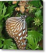 Dark Blue Tiger Butterfly Metal Print