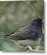 Darkeyed Junco  Metal Print