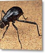 Darkling Beetle Bends Down To Drink Dew Metal Print