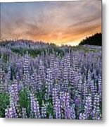 Dawn Of Lupine Metal Print