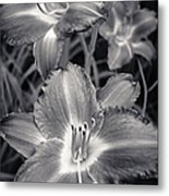 Day Lilies In Black And White Metal Print by Adam Romanowicz