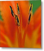 Day Lily Anther Metal Print