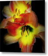 Day Lily On Black Metal Print
