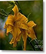 Daylily Picture 474 Metal Print