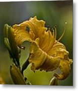 Daylily Picture 558 Metal Print