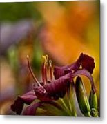 Daylily Pictures 571 Metal Print