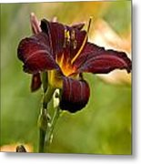 Daylily Pictures 576 Metal Print