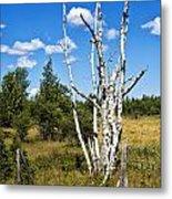 Dead Birch Trees Metal Print