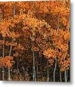 Deciduous Aspen Forest In Fall Metal Print