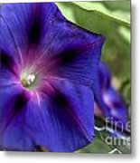 Deep Blue Morning Glories Metal Print