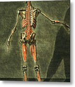 Deep Muscular System Of The Back Metal Print