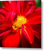 Deep Red Dahlia With Yellow Center Metal Print