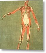 Deeper Muscular System Of The Front Metal Print