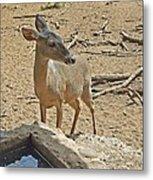 Deer At Waterhole Metal Print