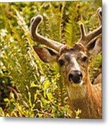 Deer Buck In Velvet Metal Print