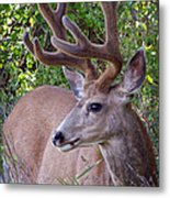 Buck In The Woods Metal Print