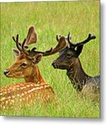 Deer Lying In A Field Metal Print by DerekTXFactor Creative