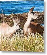 Deer On The Beach At Point Lobos Ca Metal Print