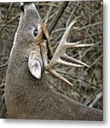 Deer Pictures 444 Metal Print