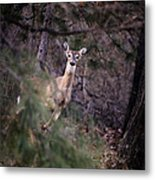 Deer's Stomping Grounds. Metal Print