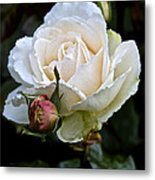 A Rose Of Delicate Beauty Metal Print
