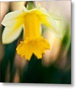 Delicate Daffodil Metal Print