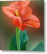 Delicate Red-orange Canna Blossom Metal Print
