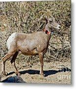 Desert Bighorn Sheep Ewe With Radio Metal Print