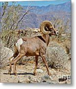 Desert Bighorn Sheep Ram At Borrego Metal Print