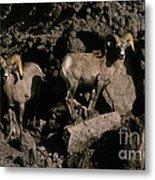 Desert Bighorns Ovis Canadensis Nelsoni Metal Print
