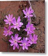 Desert Chicory Rafinesquia Neomexicana Metal Print