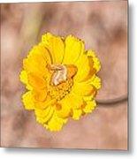 Desert-marigold Moth Metal Print