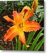 Dew Drops On Golden Lily Metal Print