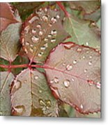 Dew Drops On The Rose Leaves Metal Print