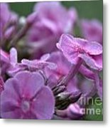 Dew On Phlox Metal Print