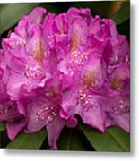 Dewy Rhododendron Metal Print