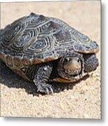Diamondback Terrapin Turtle Metal Print by Diane Rada