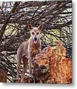 Dingo In The Wild V5 Metal Print
