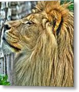 Dinner Time...can't You Smell It...lazy Boy At The Buffalo Zoo Metal Print