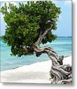 Divi Divi Tree In Aruba Metal Print