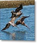Diving Pelicans Metal Print