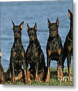 Doberman Pinschers Metal Print