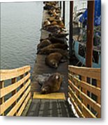 Dock Sea Lions Astoria Or 1 A Metal Print