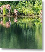 Doe And Fawns At The Pond Metal Print