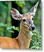 Doe Close Metal Print