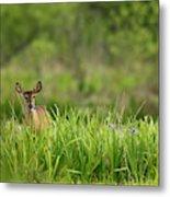 Doe Feeding On Prairie Iris, Grimes Metal Print