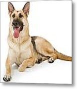 Dog Isolated On White Metal Print by Susan Schmitz