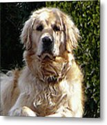 Dog On Guard Metal Print