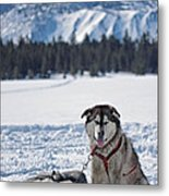 Dog Team Metal Print by Duncan Selby